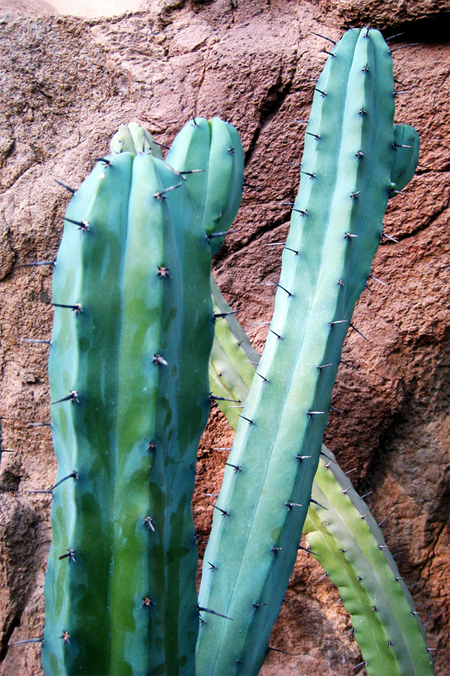 продажа семян миртиллокактус геометрический Myrtillocactus geometrizans seeds саженцы кактуса на выбор и на заказ