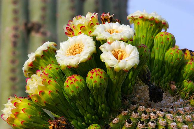 купить семена кактуса сагуэро гигантского saguaro seedling совместная закупка семян суккулентов