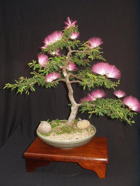 продам семена calliandra eriophylla seeds распродажа