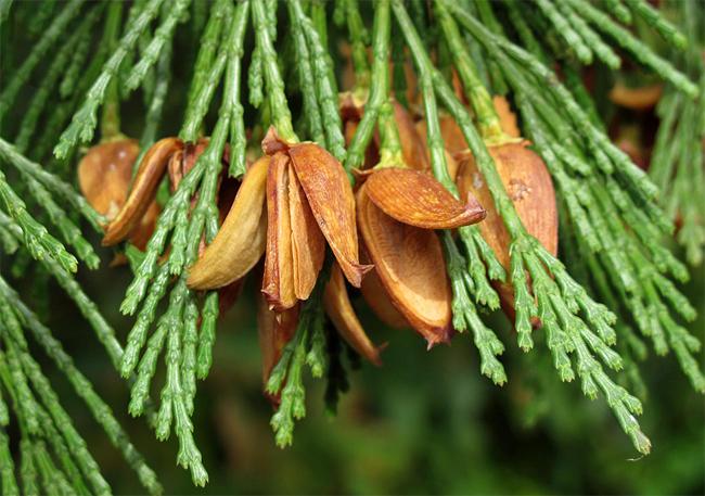 семена калоцедруса в большом магазине семян libocedrus decurrens seeds продажы семян и саженцев в питомнике растений