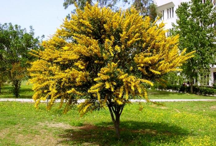 быстро купить качественные семена караганы древовидной caragana seedling саженцы желтой акации