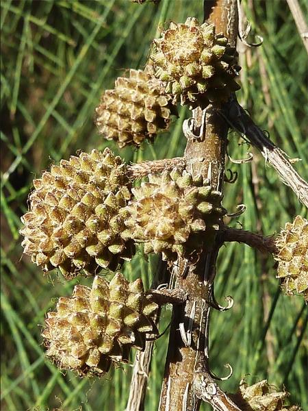 продажа семян казуарина кунингама casuarina cunninghamiana seeds купить саженцы