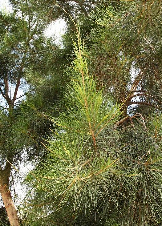 совместная закупка семян казуарина кунингама австралийская сосна casuarina cunninghamiana seeds