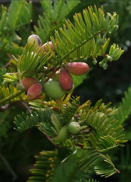 продам семена китайский сливовый тис cephalotaxus fortunai seeds
