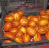 купить семена дыни корейской ранней холодостойкой для подмосковья chamoe seeds оптом