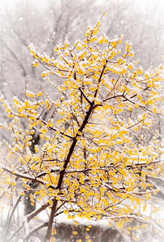 ландшафтные растения зимой вырастить из семян зимоцвета Chimonanthus praecox seedling