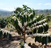 купить семена кофейного дерева кофе coffea seeds в мазагине семян Сидландия