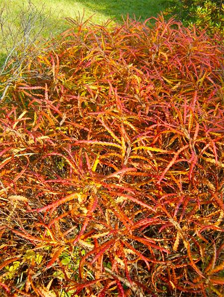 купить семена комптонии перегрина comptonia peregrina seeds в питомнике декоративных растений