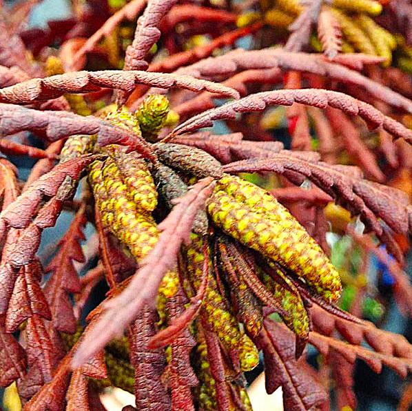 продажа семян комптонии иноземной comptonia peregrina seeds осенняя и весенняя распродажа саженцев