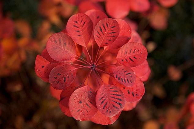 большой ассортимент семян декоративных растений скумпия кожевенная cotinus coggygria seeds