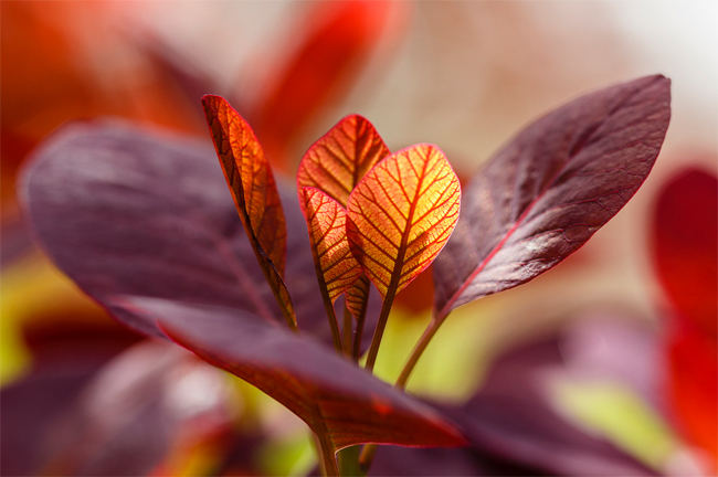 семена и саженцы скумпии red purple cotinus seeds купить скумпию