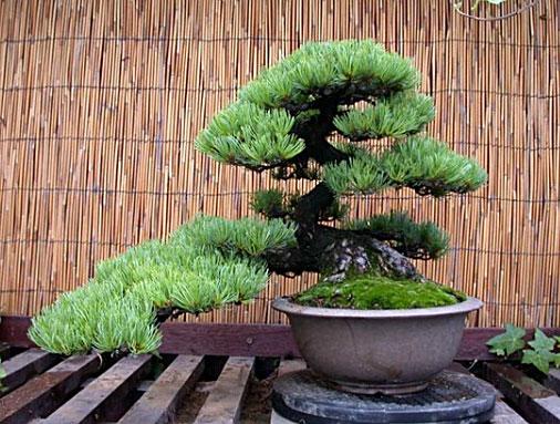 продажа bonsai японский красный кедр семена