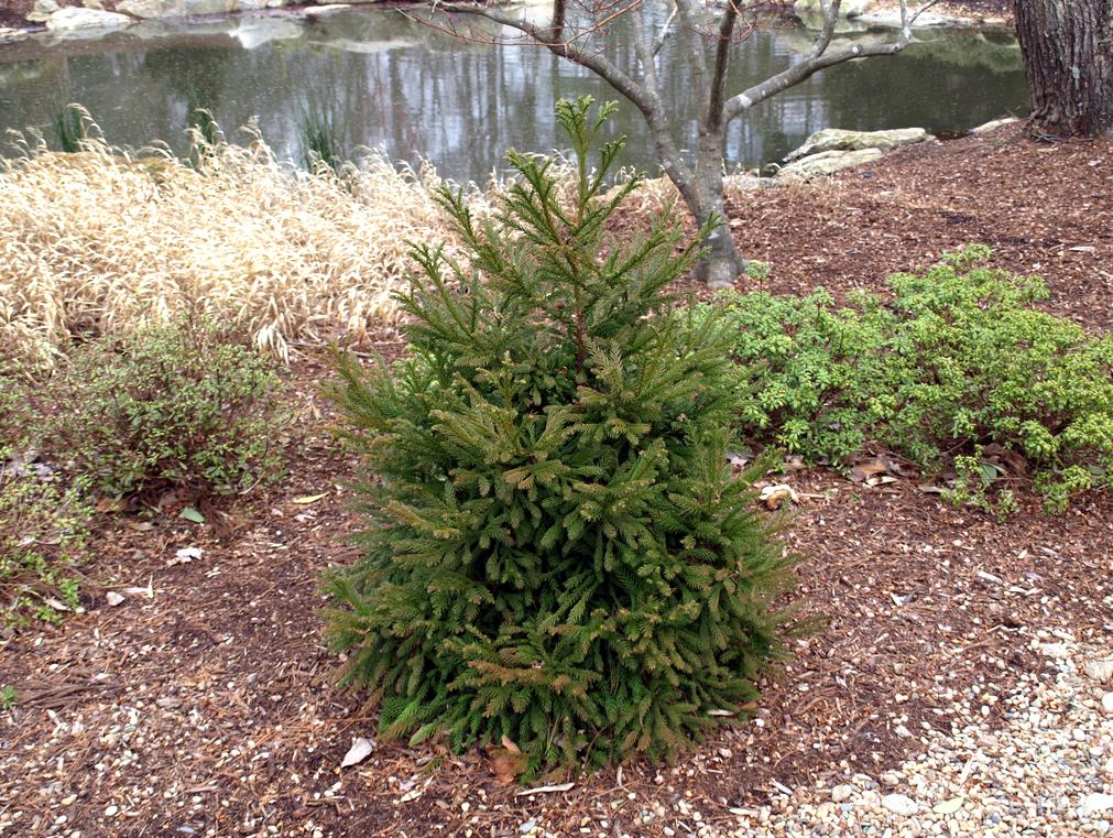 семена декоративных растений оптом cryptomeria japonica цена саженцы