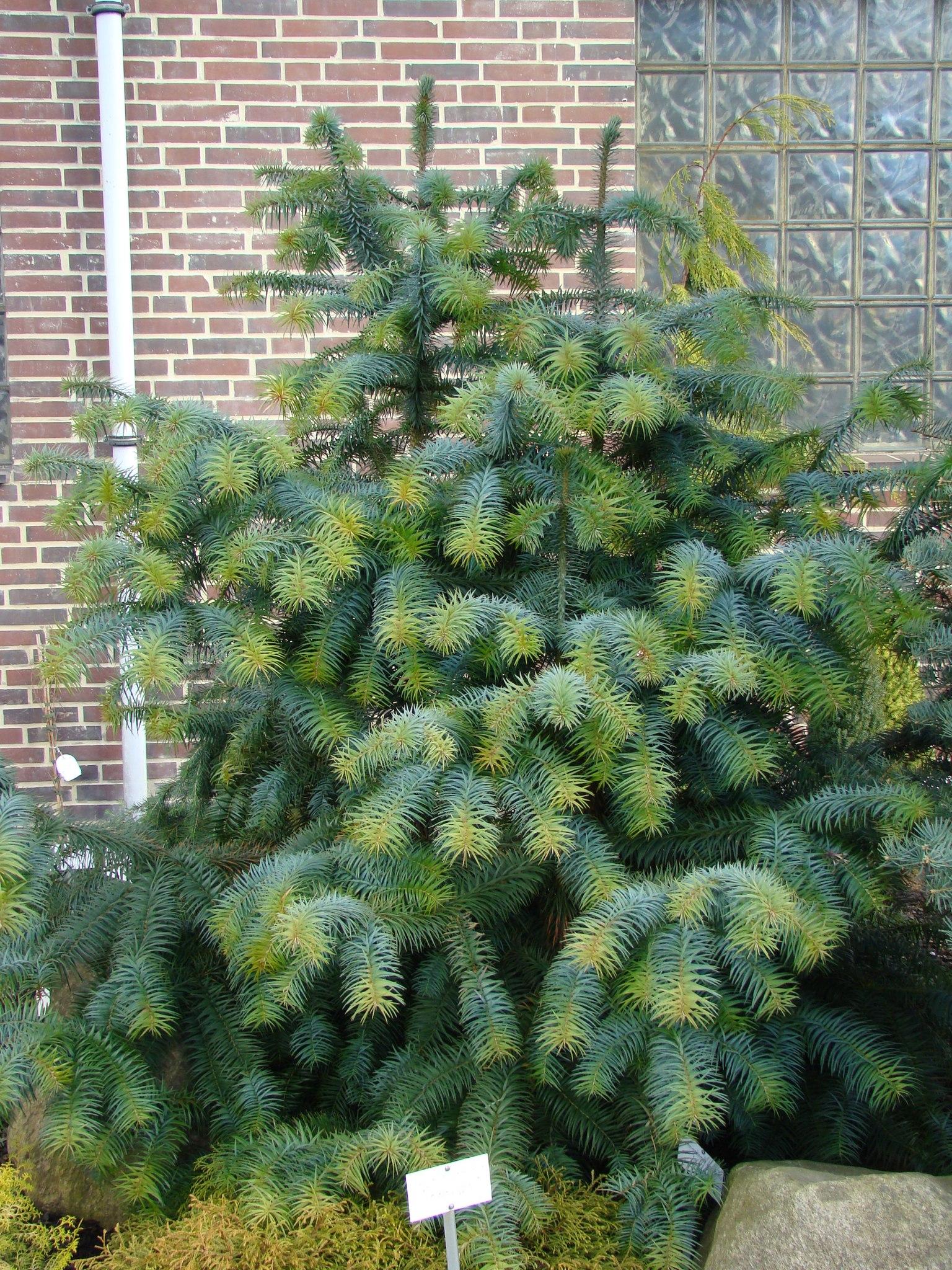продаем куннингамию cunninghamia lanceolata семена и саженцы