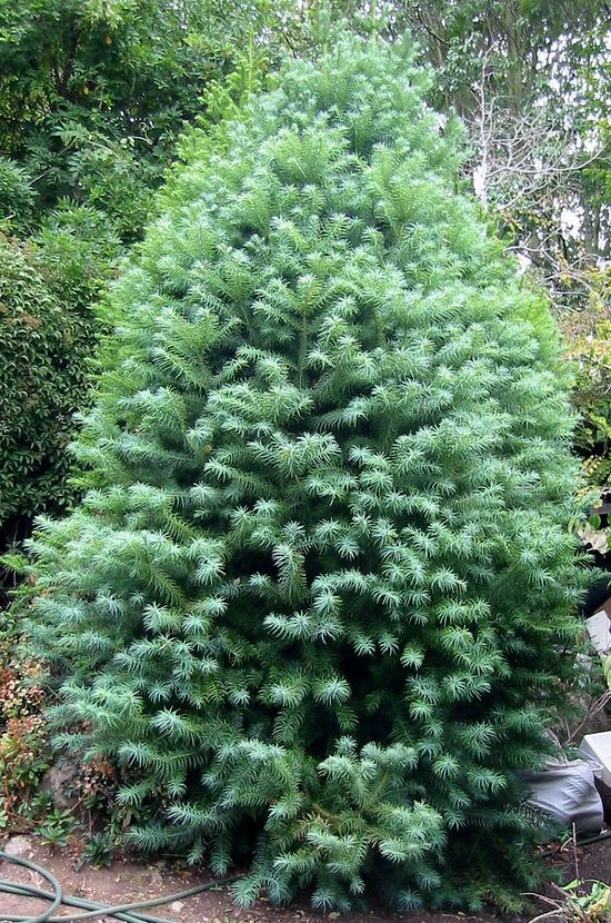 купить саженцы зкс куннингамии cunninghamia china fir семена