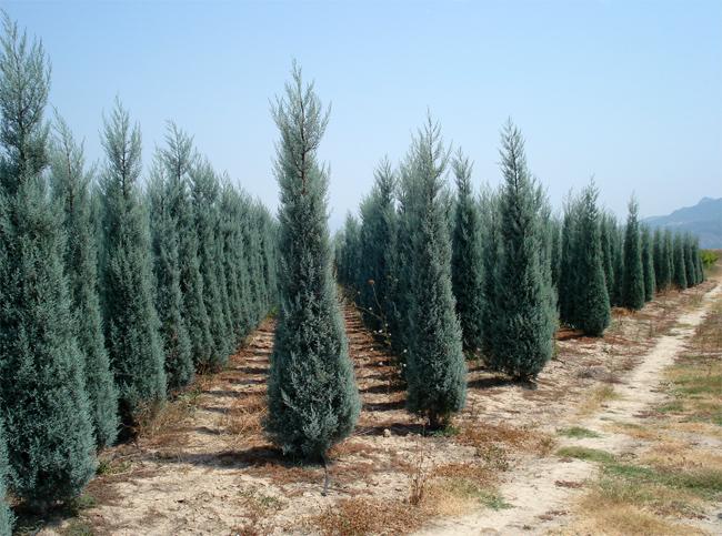купить семена кипариса аризонского cupressus arizonica seeds продажа саженцев