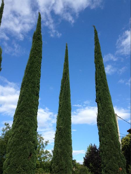 магазин семян кипариса вечнозеленого стрикта cupressus sempervirens stricta seeds