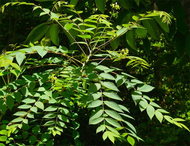 семена декенеи замечательной decaisnea insignis seeds sale купить саженцы сосисочного дерева в магазине москвы