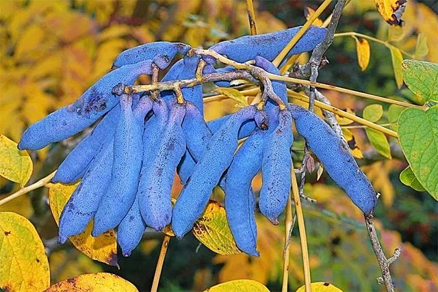 семена декенея замечательная в интернет магазине питомника Сидландия на 4seed.jimdo.com