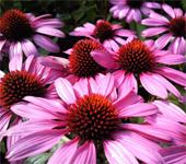 продажа семян эхинацея пурпурная Echinacea purpurea seeds лекарственные растения в интернет магазине Сидландия