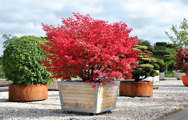 распродажа и совместная закупка семян бересклет крылатый euonymus alatus burning bush лучшая цена на семена и саженцы декоративных растений