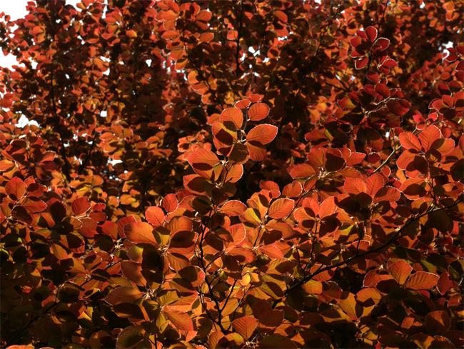 купить семена растений и деревьев в интернете fagus sylvatica atropurpurea заказать семена по каталогу