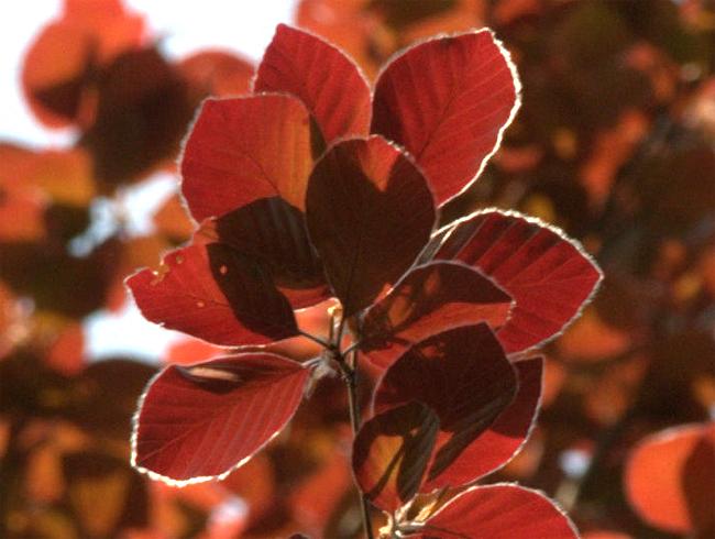 продажа семян растений бука европейского purple beech seeds пурпурнолистного большой каталог семян