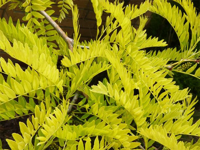 купить семена гледичии трехколючковой обыкновенной gleditsia triacanthos seeds