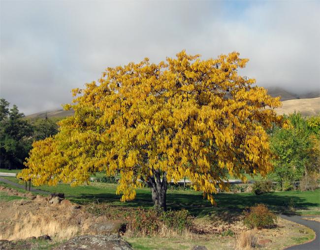 продажа семян гледичии обыкновенной gleditsia triacanthos seeds tree описание растения