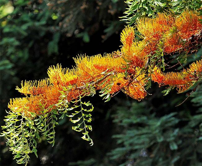 rкупить редкие семена растения гревиллея мощная grevillea robusta саженцы в продаже