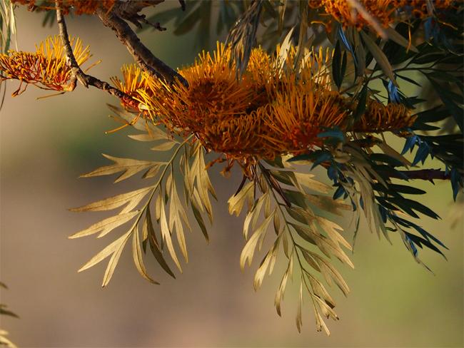 купить качественные семена дуба шелковистого silky oak seeds