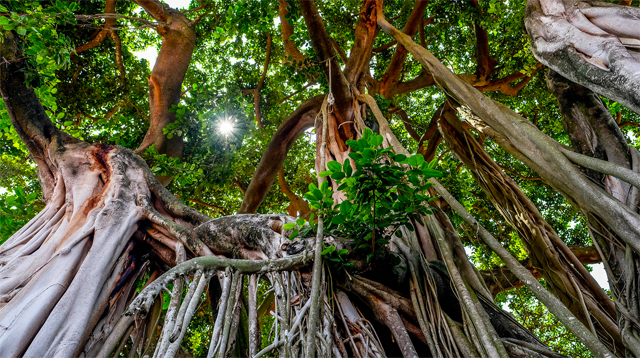 продам семена редкого растения гевея каучуковое дерево hevea brasiliensis seeds купить семена дешево и быстро в интернет магазине