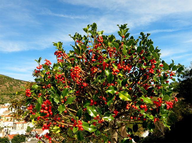 купить семена падуб остролист ilex aquifolium продажа семян