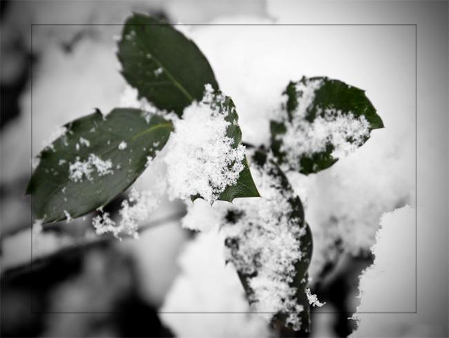 распродажа семян растений падуб остролистый ilex aquifolium купить семена и саженцы