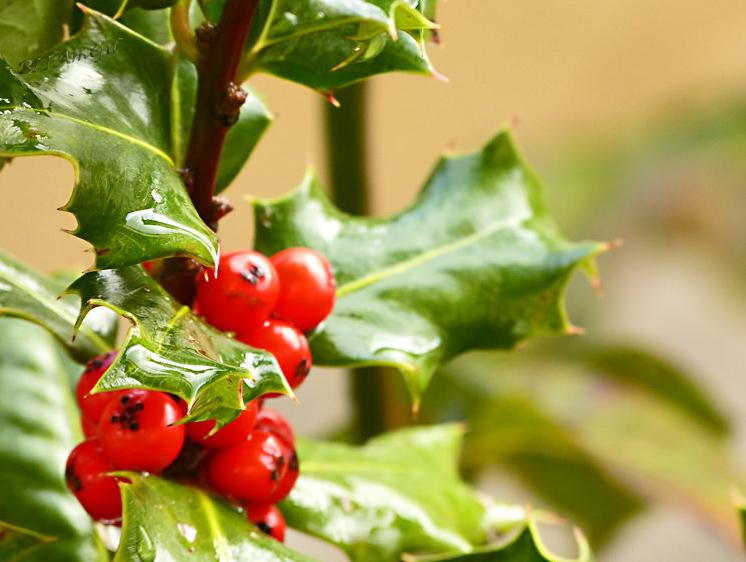 продаем семена и саженцы падуб остролистный ilex aquifolium совместная закупка семян декоративных растений