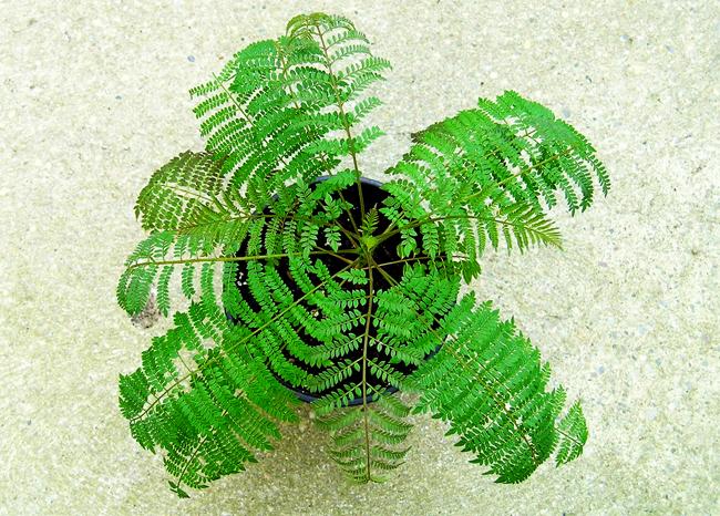 купить семена жакаранды jacaranda seeds фиалкового дерева