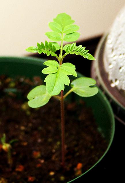 купить саженцы ЗКС жакаранды мимозолистной jacaranda seedling sale price качественная рассада растений