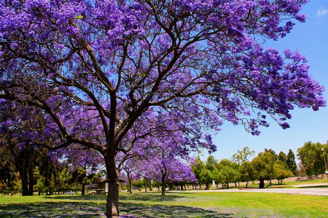 огромный каталог семян декоративных растений в интернет хранилище jacaranda seeds декор вашего сада