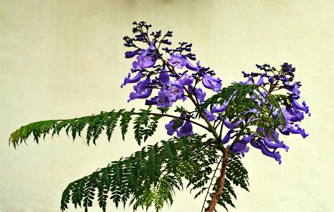 продажа семян джакаранды мимозной jacaranda seeds проверенный и надежный интерент магазит семян растений