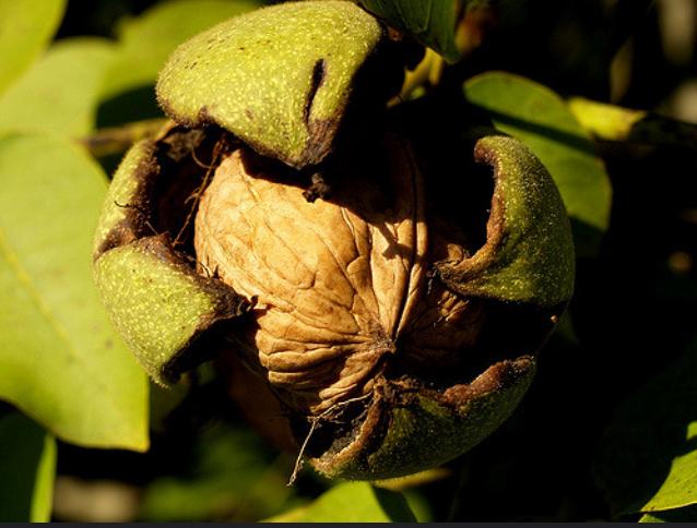 продажа семена ореха грецкого juglans regia seeds