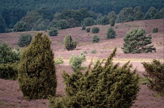 продажа семян можжевельника обыкновенного juniperus communis seeds