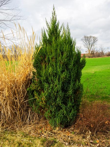 купить семена можжевельника высокого juniperus excelsa seeds продажа семян в в магазине питомника растений