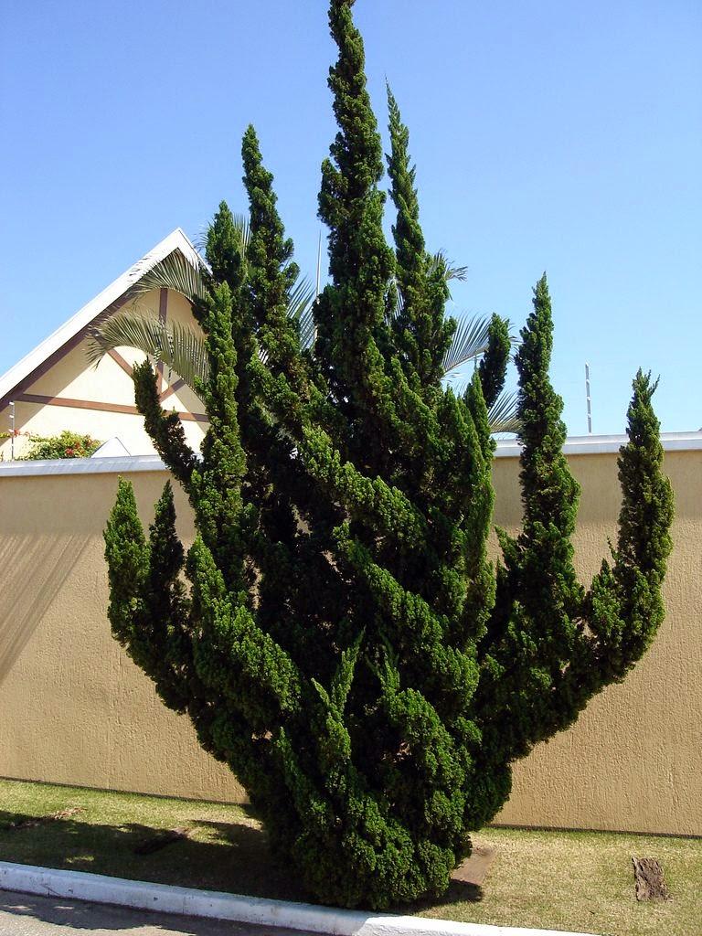 купить семена можжевельника китайского Кайзука juniperus chinensis Kaizuka seeds продам семена и саженцы