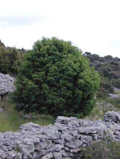 купить семена можжевельника крупноплодного juniperus macrocarpa seeds regbnm семена и саженцы