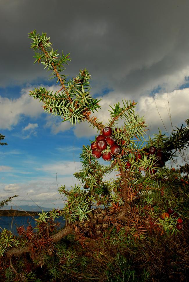 семена любые можжевельника крупноплодного juniperus macrocarpa