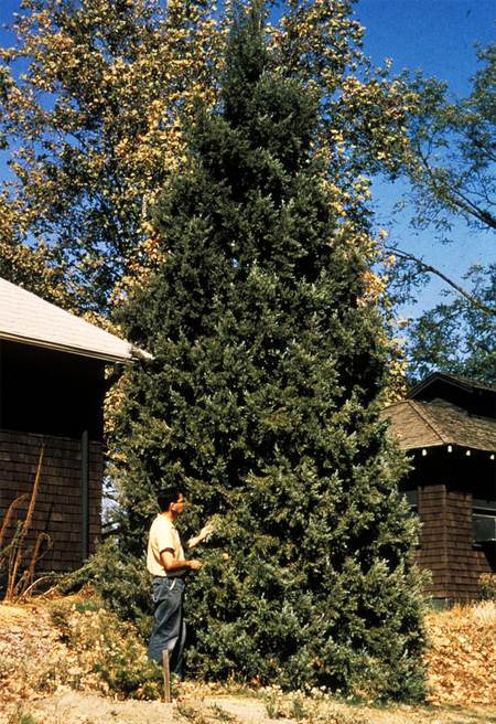 продажа семян можжевельника западного juniperus occidentalis seeds купить саженцы и семена питомнике растений номер один