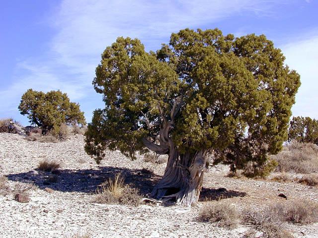 купить семена можжевельника жесткосемянного juniperus osteosperma seeds продам семена и саженцы