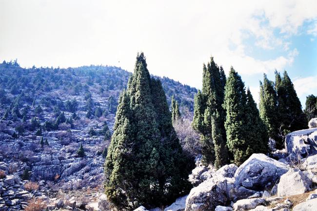 продам семена можжевельника колючего juniperus oxycedrus seeds купить саженцы из питомника в москве