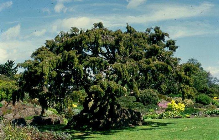 купить семена можжевельника твердого жесткого жестколистного juniperus rigida seeds продам семена и саженцы