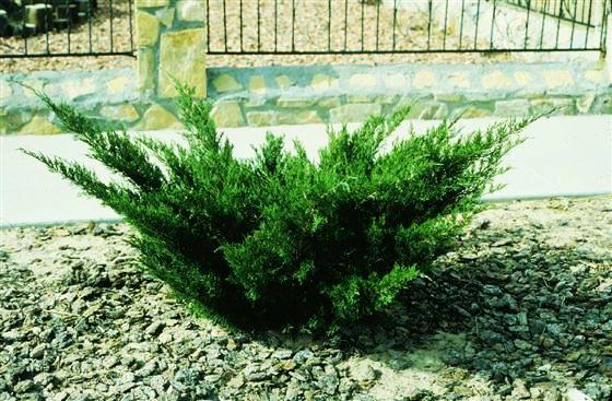 продажа семян можжевельника казацкого juniperus sabina seeds семена и саженцы